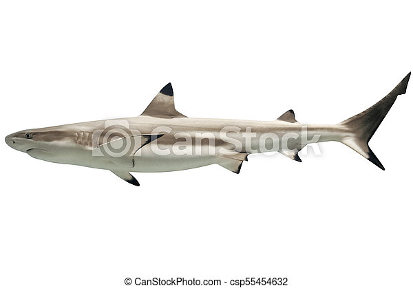 Australian blacktip shark - csp55454632
