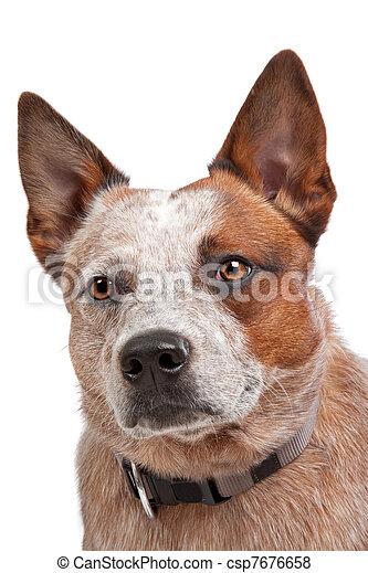 Australian Cattle Dog - csp7676658