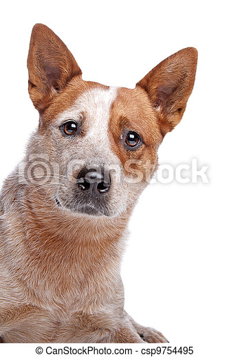 Australian Cattle Dog (red coat) - csp9754495
