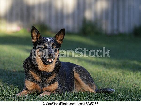 Australian Cattle Dog - csp16235066