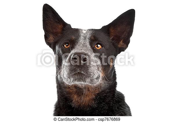 Australian Cattle Dog - csp7676869