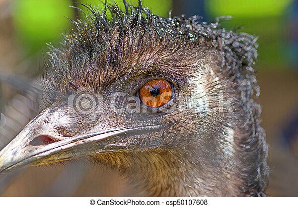 australian emu close up emus head big brown eyes and strong beak