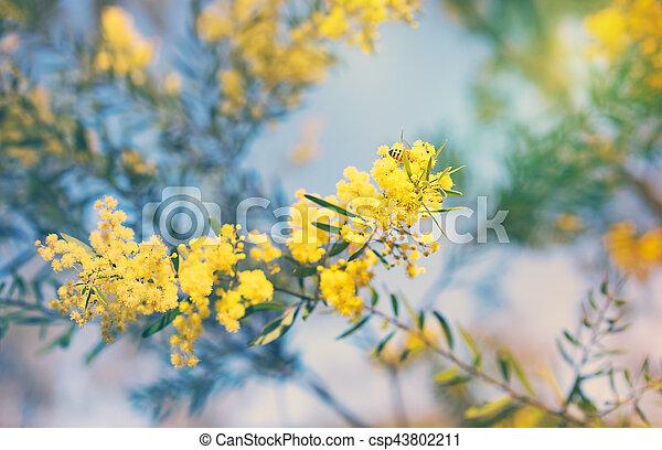 Australian golden yellow spring wattle flowers australia winter and australian golden yellow spring wattle flowers csp43802211 mightylinksfo