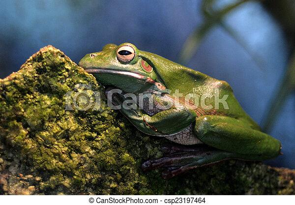 Australian green tree frog Gold Coast Queensland Australia - csp23197464