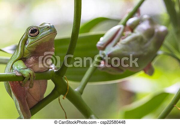 Australian Green Tree Frogs - csp22580448