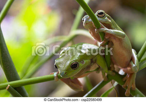Australian Green Tree Frogs - csp22580499
