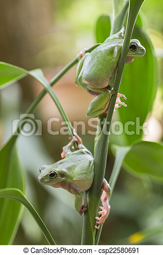 Australian Green Tree Frogs - csp22580691