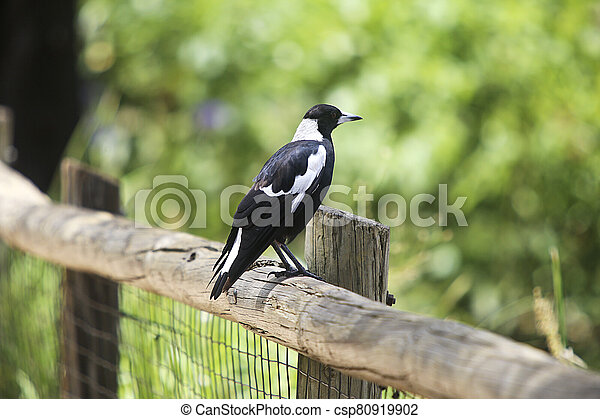 Australian magpie bird on the fence - csp80919902