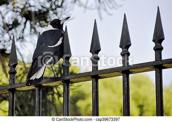 Australian Magpie - csp39673397
