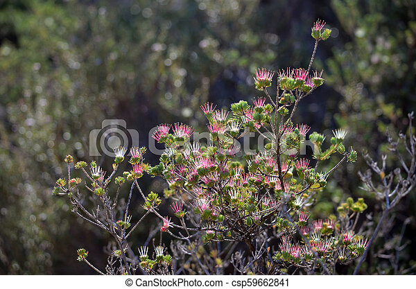 Australian myrtle darwinia fascicularis flowers back lit red pink back lit red pink and white spiky flowers of the australian native clustered scent myrtle darwinia fascicularis growing in heath along the little marley mightylinksfo