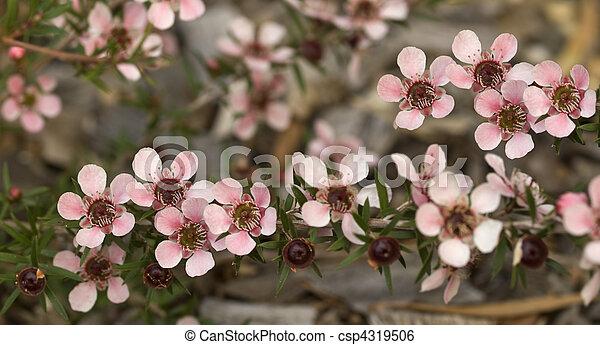 Australian native spring flowers leptospernum pink cascade australian native spring flowers leptospernum pink cascade csp4319506 mightylinksfo