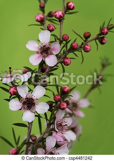 Australian native spring flowers leptospernum pink cascade with buds australian native spring flowers leptospernum pink cascade csp4481242 mightylinksfo