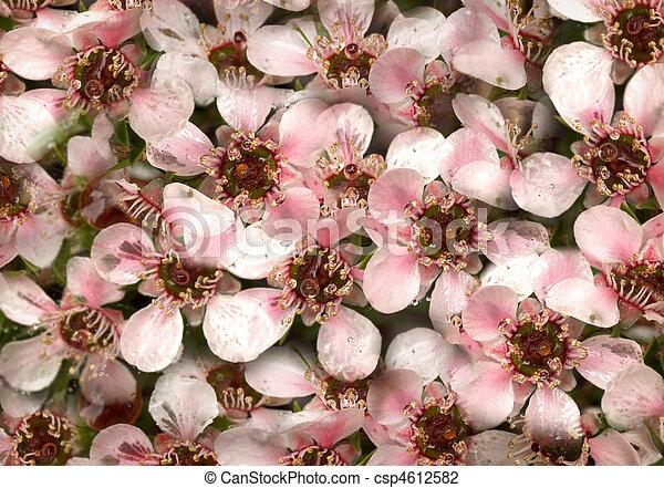 Australian native spring flowers leptospernum pink cascade australian native spring flowers leptospernum pink cascade csp4612582 mightylinksfo