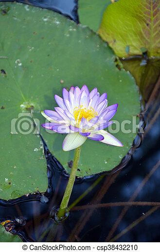 Australian purple waterlily purple waterlily nymphaea flower in a australian purple waterlily csp38432210 mightylinksfo