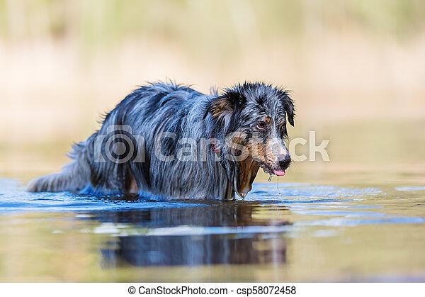 Australian Shepherd dog stands in a lake - csp58072458