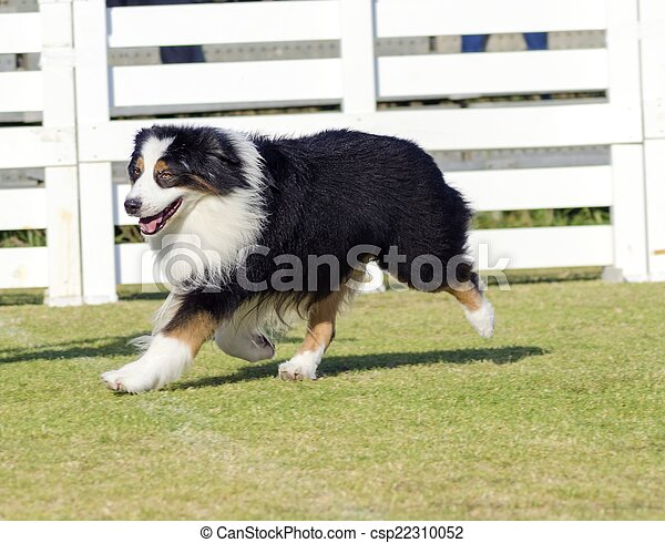 Australian Shepherd dog - csp22310052