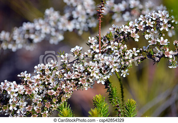 Australian white tea tree flowers leptospermum arachnoides royal australian white tea tree flowers csp42854329 mightylinksfo