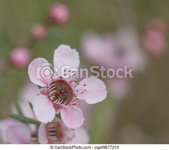 Australian wildflowers pink leptospermum in spring stock australian wildflowers pink leptospermum in spring csp49877219 mightylinksfo