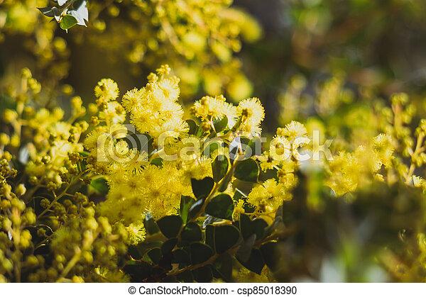 australien, arrière-cour, indigène, extérieur, ensoleillé, canisse, plante - csp85018390