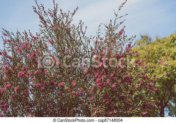 australien, indigène, ensoleillé, arbre, arrière-cour, bottlebrush, callistemon, rose, extérieur - csp87148004