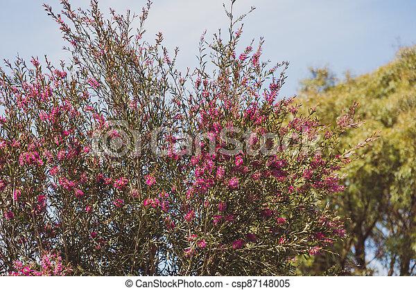 australien, indigène, ensoleillé, arbre, arrière-cour, bottlebrush, callistemon, rose, extérieur - csp87148005