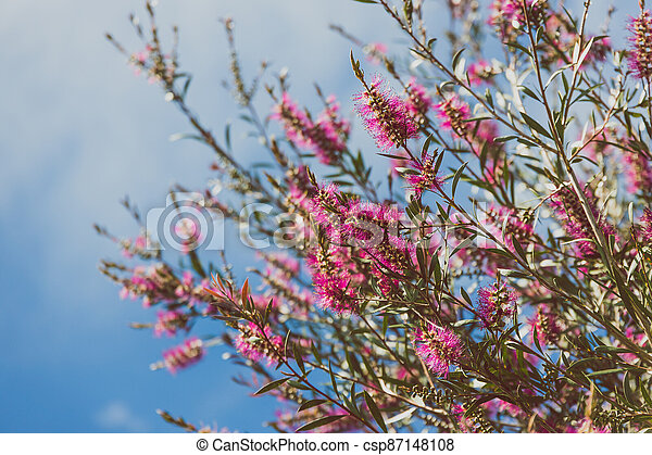 australien, indigène, ensoleillé, arbre, arrière-cour, bottlebrush, callistemon, rose, extérieur - csp87148108