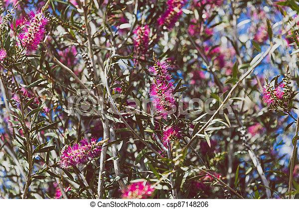 australien, indigène, ensoleillé, arbre, arrière-cour, bottlebrush, callistemon, rose, extérieur - csp87148206