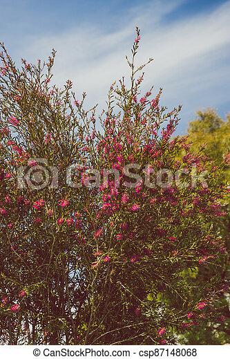 australien, indigène, ensoleillé, arbre, arrière-cour, bottlebrush, callistemon, rose, extérieur - csp87148068