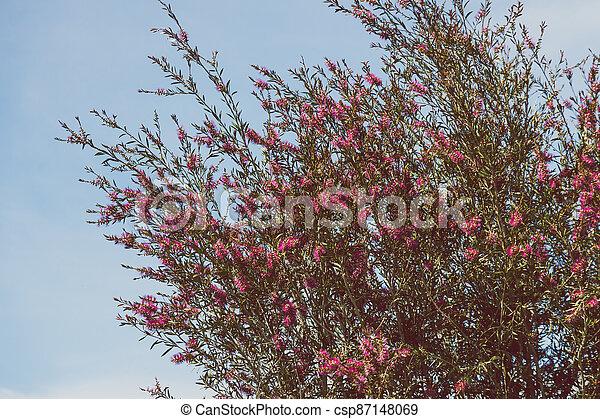 australien, indigène, ensoleillé, arbre, arrière-cour, bottlebrush, callistemon, rose, extérieur - csp87148069