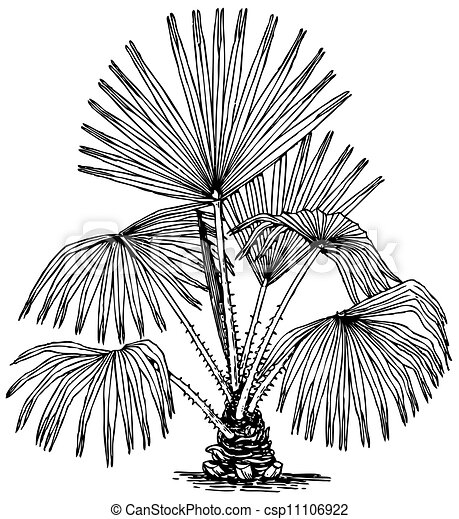 australis, pianta, livistona - csp11106922