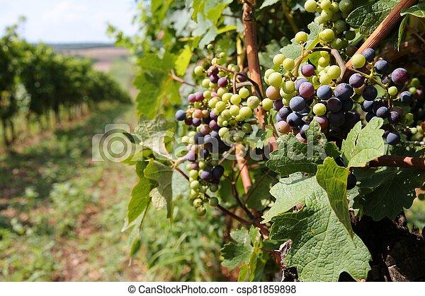 Austria vine - csp81859898