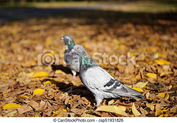 automne, pigeons, parc - csp51931826