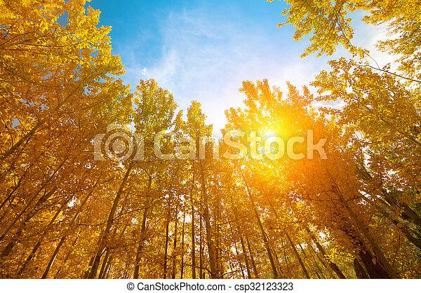 automne, saisons, tremble, arbres - csp32123323