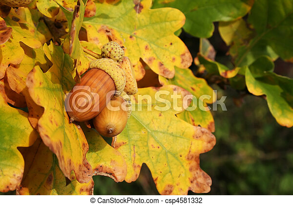 Autumn acorns - csp4581332