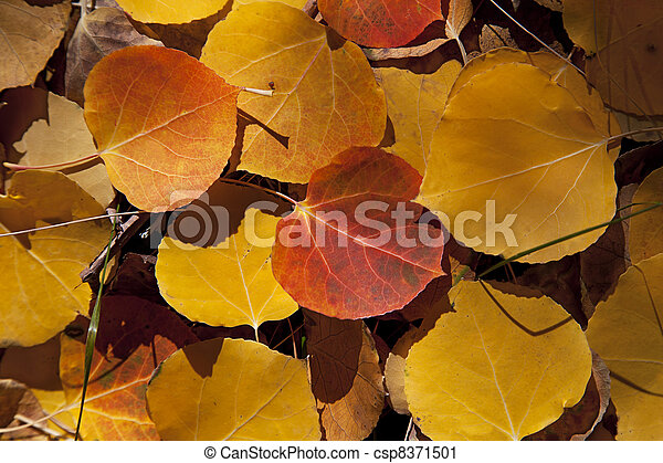 Autumn Aspen Leaves - csp8371501