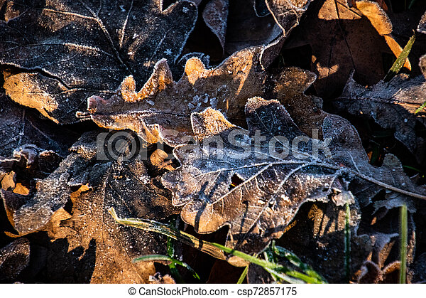 autumn background on a frosty winter day, with frost on oak leaves lit by the sun - csp72857175