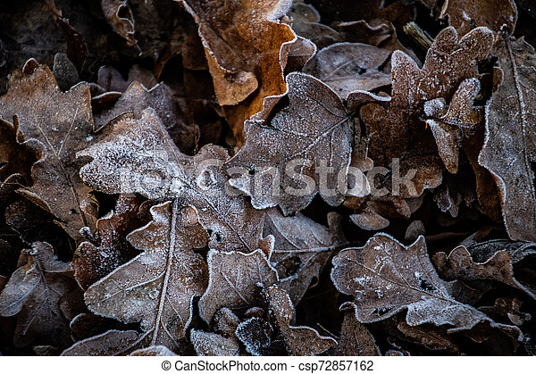 autumn background on a frosty winter day, with frost on oak leaves lit by the sun - csp72857162