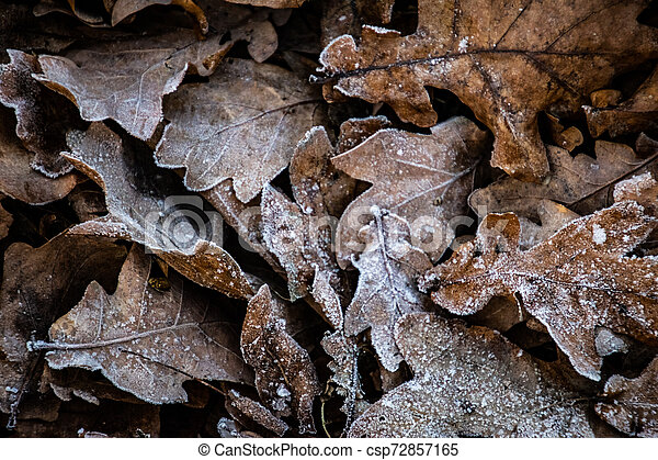 autumn background on a frosty winter day, with frost on oak leaves lit by the sun - csp72857165