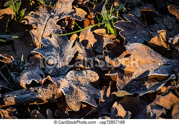 autumn background on a frosty winter day, with frost on oak leaves lit by the sun - csp72857168