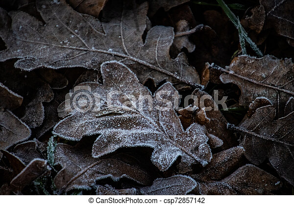 autumn background on a frosty winter day, with frost on oak leaves lit by the sun - csp72857142