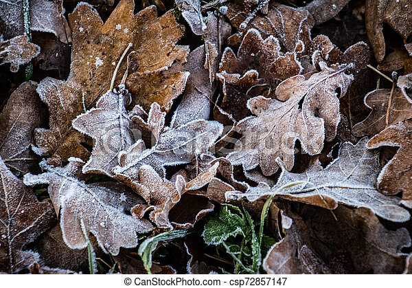 autumn background on a frosty winter day, with frost on oak leaves lit by the sun - csp72857147