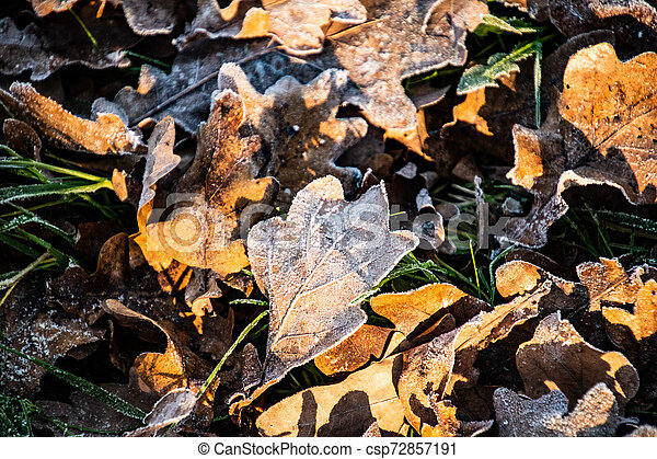 autumn background on a frosty winter day, with frost on oak leaves lit by the sun - csp72857191