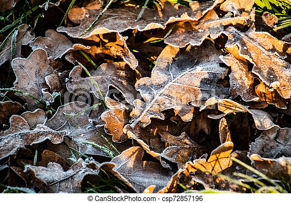 autumn background on a frosty winter day, with frost on oak leaves lit by the sun - csp72857196