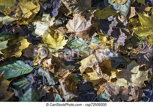 Autumn background with maple leaves, close up - csp72509300