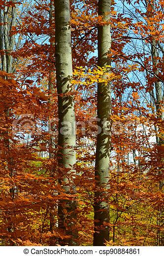 Autumn Beeches - csp90884861