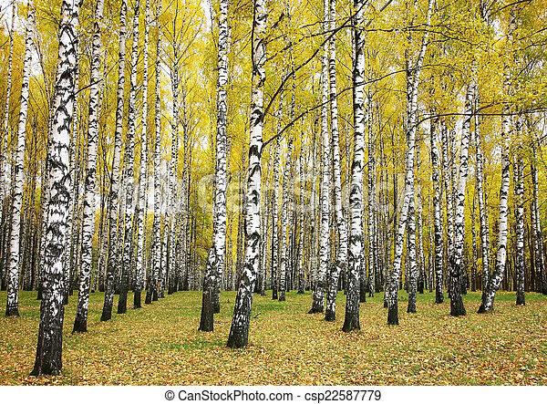 Autumn birch grove - csp22587779