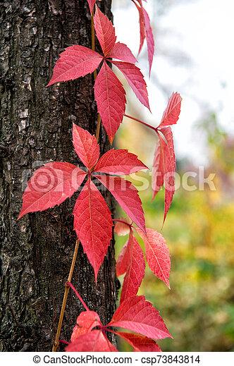 Autumn Coloration Deciduous Climber In Fall Virginia Creeper