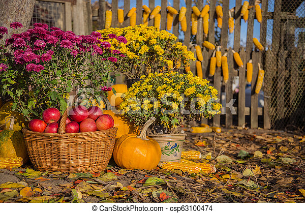 Autumn composition with chrysanthemum flowers, pumpkins, apples in a wicker basket, ceramic pots, outdoors. - csp63100474