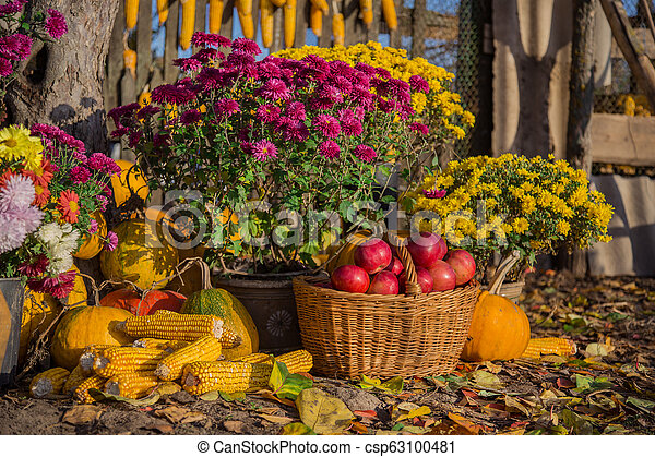 Autumn composition with chrysanthemum flowers, pumpkins, apples in a wicker basket, ceramic pots, outdoors. - csp63100481
