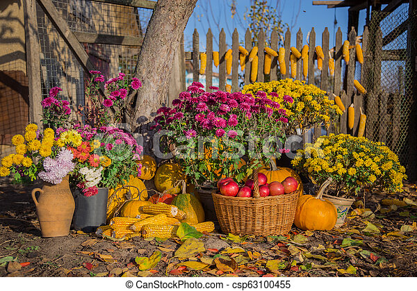 Autumn composition with chrysanthemum flowers, pumpkins, apples in a wicker basket, ceramic pots, outdoors. - csp63100455